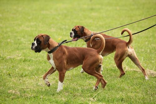 zwei Hunde ziehen an der Leine