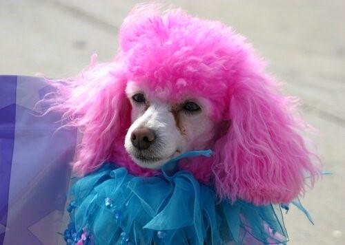 Das Färben von Haustieren - Pinker Pudel