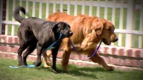 Der blinde Hund, der von seinem Blindenhund gerettet wurde