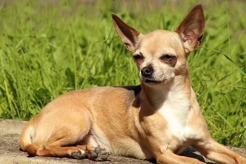 Lerne alles über Chihuahuas