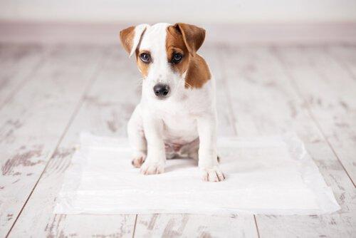 Einem Hund beibringen, an einem bestimmten Örtchen zu pinkeln