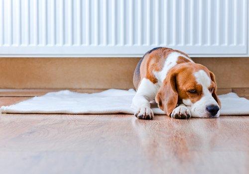 Fieber beim Hund messen