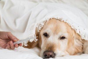Fiebermessen beim Hund