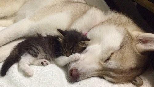 Die Husky Hündin Lilo, die ein Kätzchen adoptierte