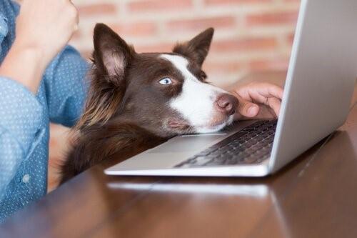 Können Hunde fernsehen - Hund am Laptop
