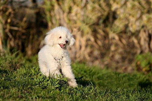 Kleine Hunde, große Herzen: Pudel