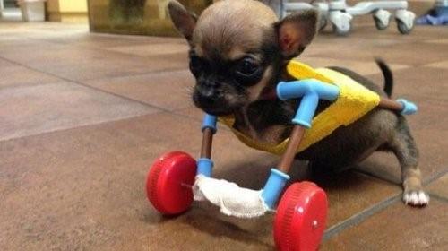 Lerne Turbo Roo, einen tapferen Chihuahua, kennen