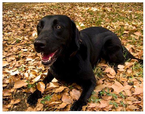 Wie ein Labrador zum Lebensretter wurde