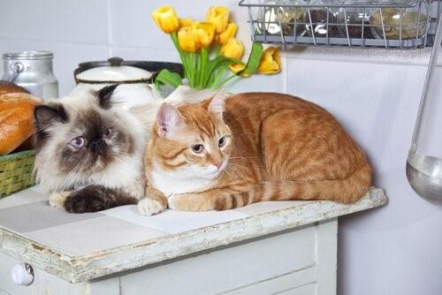 Zwei Katzen - Katzen in der Küche