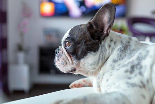 Lerne den Hund kennen, der Horrorfilme liebt