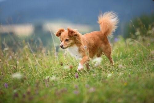 die Stimmung deines Haustieres - Chihuahua auf Wiese