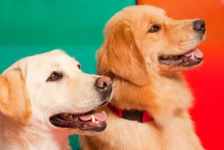 Wie können sich Ersthund und Zweithund gut vertragen?