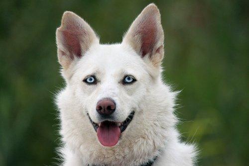 Der Tränensack verfärbt sich leicht bei allen Hunden