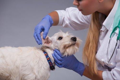 Hundeohren werden gereinigt