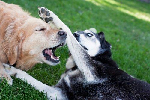 Hunde spielen nach der Sterilisation weiter