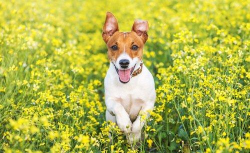 Jack Russell Terrier: kleine Hunde mit großem Jagdinstinkt