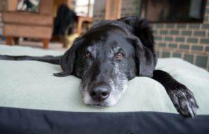 Kastration von Haushunden