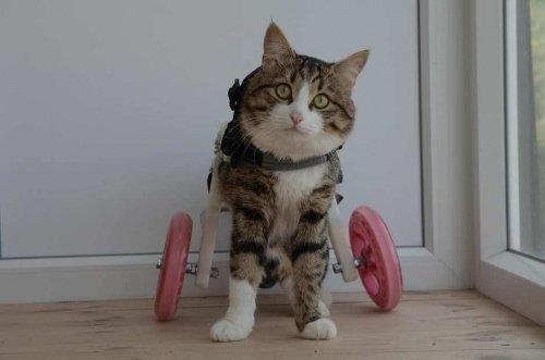 Rexie, der Kater im Rollstuhl