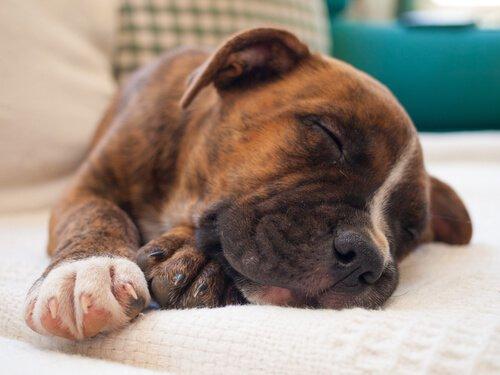 Schlaf eines Hundes