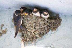Schwalben im Nest