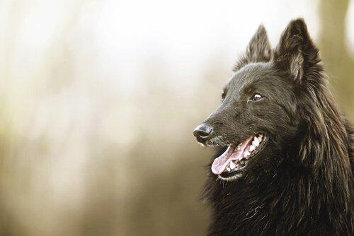 Schöne Wesen: schwarze Hunde