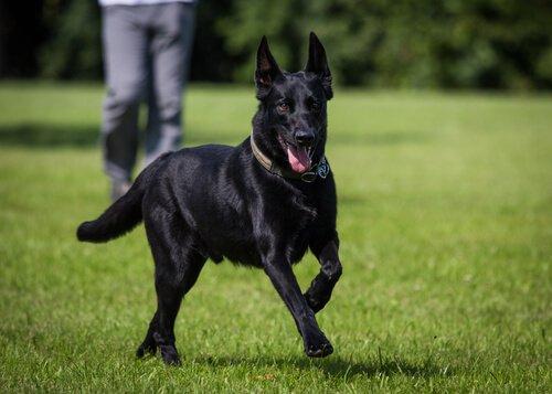 Schwarze Hunde haben tolles Fell