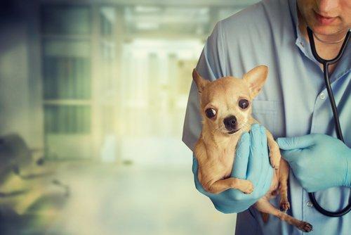 Tierarzt pflegt kleine Rassehunde
