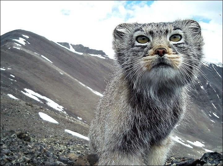 vom Aussterben bedrohte Katze - Pallaskatze Nahaufnahme