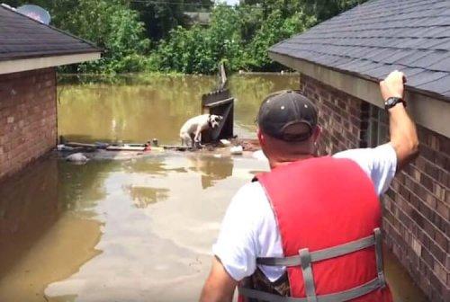 Pittbulls werden in Louisiana beim Kampf ums Überleben gerettet
