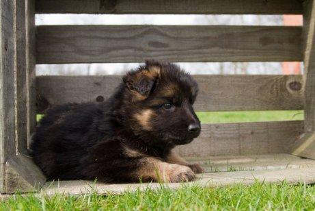 Wissenswertes über die Aufzucht eines Deutschen Schäferhundes