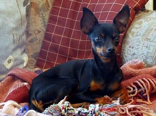 Der Prager Rattler, ein sehr kleiner Hund