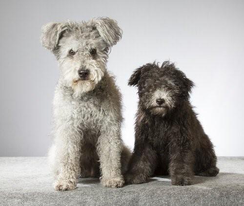 Der Pumi, eine neue Hunderasse