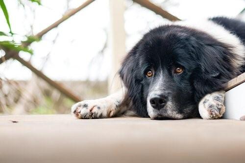Die Langeweile - depressiver Hund
