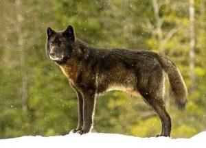 Die enge Freundschaft zwischen einem Wolf und einem Hund - Romeo