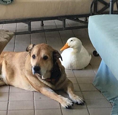 Ein depressiver Hund ist dank seines neuen Enten-Freundes wieder glücklich