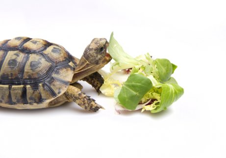 Ernährung einer Schildkröte