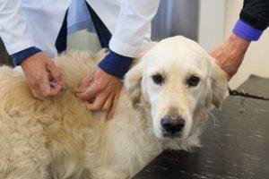 Erste Hilfe Kasten deines Hundes - Hund bekommt Spritze