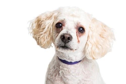 Warum haben Hunde Flecken unter den Augen?
