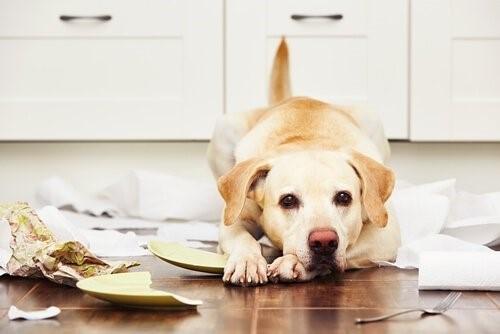 Labrador Retriever - Langeweile