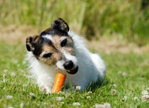 Mundgeruch bei Hunden - Hund isst Karotte