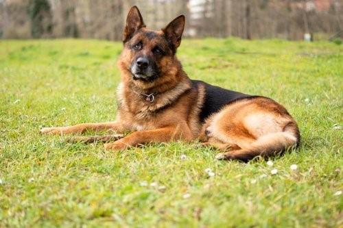 Nach dem Tod deines Haustieres - Rodolfo Castillos Schäferhund
