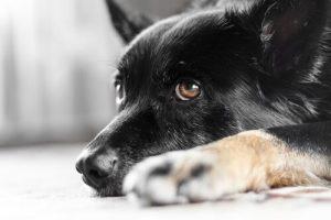 Nystagmus bei Hunden - Hund liegt auf dem Boden