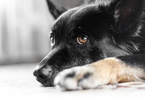 Weißt du, was Nystagmus bei Hunden ist? Wir sagen es dir!