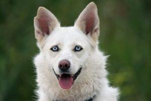 Nystagmus bei Hunden - Hund mit blauen Augen