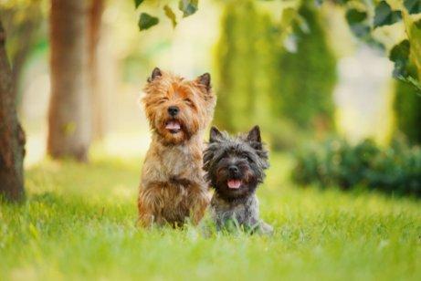 Rasseportrait Terrier: charakteristische Eigenschaften