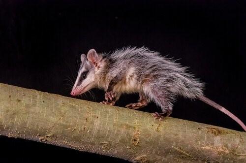 Tiere, die am meisten schlafen - Opossum
