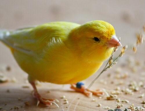 Tipps, um einen Kanarienvogel zu füttern