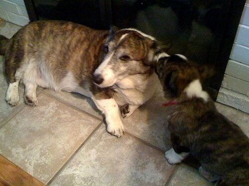 Warum Hunde bellen - älterer Hund