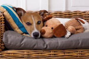Wir unseren Haustieren Krankheiten weitergeben - Hund im Korb