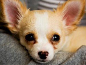 Ein Chihuahua mit Herznase